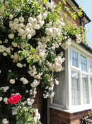 20th Jun 2014 - Roses in gallore
