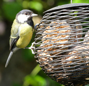 20th Jun 2014 - Great Tit