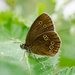 Ringlet butterfly - 20-06 by barrowlane