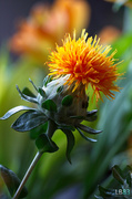 20th Jun 2014 - Safflower