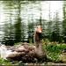 Goosey by rosiekind