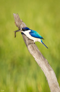 21st Jun 2014 - Forest Kingfisher