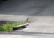 21st Jun 2014 - Look for me in the ditch - Baltimore Oriole