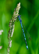 21st Jun 2014 - Damselfly - 21-06