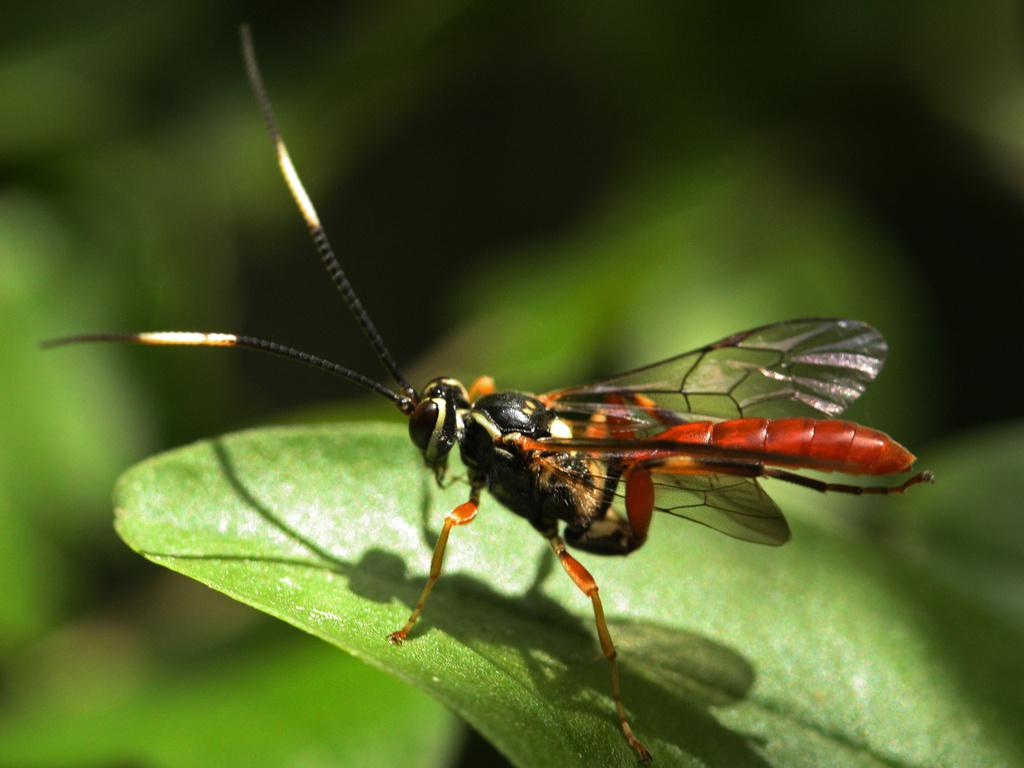 Ichneumon Wasp by mzzhope