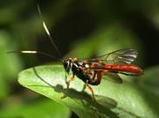 21st Jun 2014 - Ichneumon Wasp