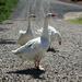 Three Geese Crossed the Road by lauriehiggins