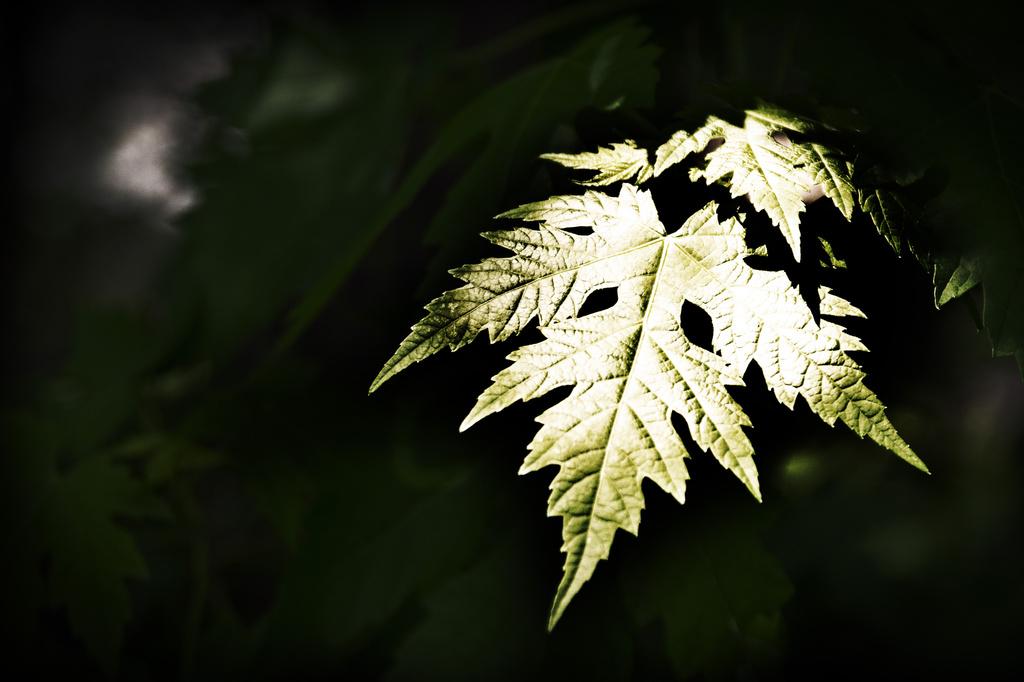 Sunlit Leaf! by ukandie1