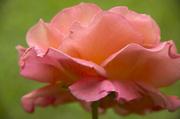 20th Jun 2014 - June Rose-Light