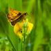 22nd June 2014 - Little butterfly by pamknowler