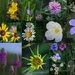 Kansas Wildflower Collage by kareenking