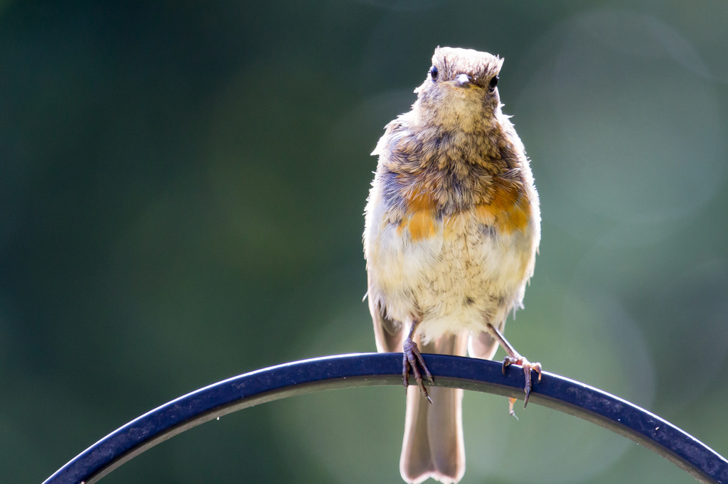2014 06 22 - I really am a robin by pixiemac