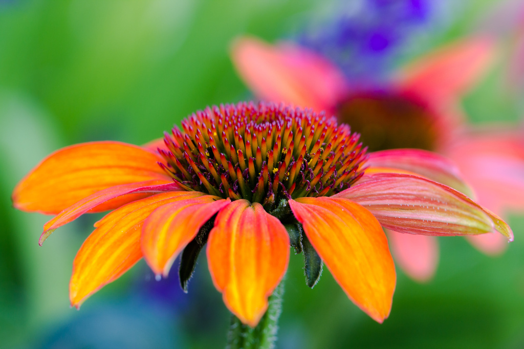 coneflower by aecasey