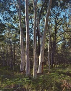 23rd Jun 2014 - Stand of scribbly gums