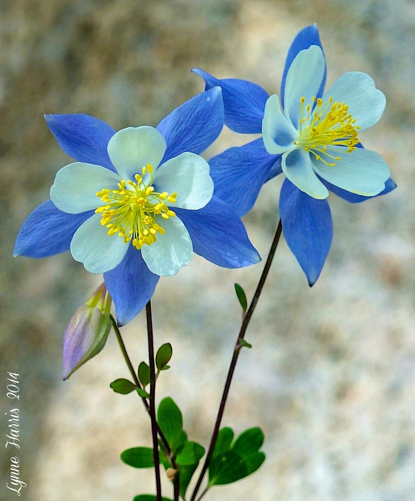 Colorado Columbine by lynne5477