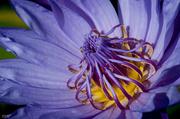 24th Jun 2014 - Waterlily crown