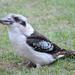Kookaburra - Tick by terryliv