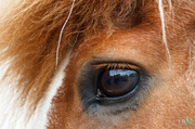 24th Jun 2014 - Reflections in a horse's eye
