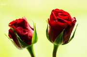 24th Jun 2014 - Two roses
