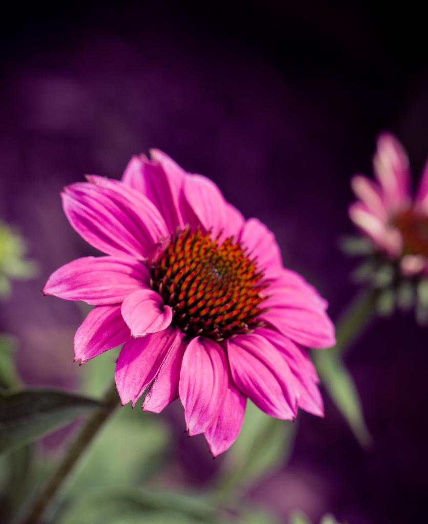 Purple Cone Flower  by cdonohoue