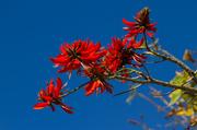25th Jun 2014 - Erythrina- flowering tree