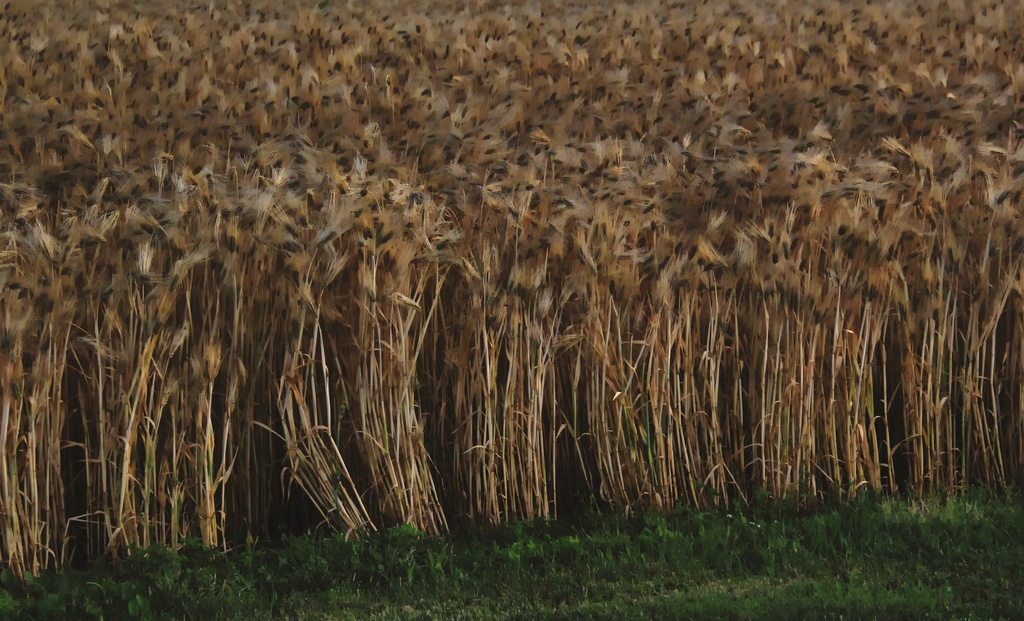 Amber Waves Of Grain by digitalrn