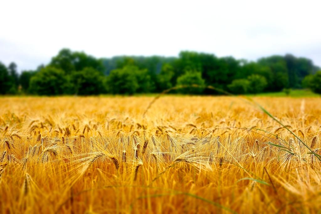 Wheat  by cocobella