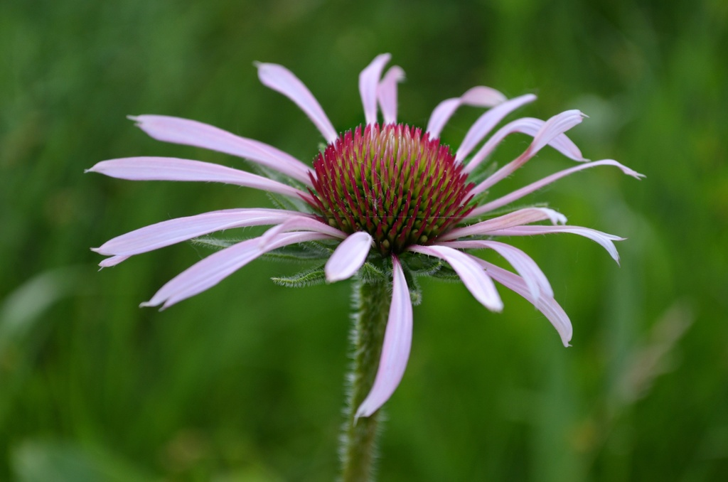 Echinacea Pallida by cailts