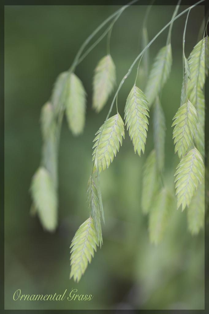 Ornamental Grass by jamibann