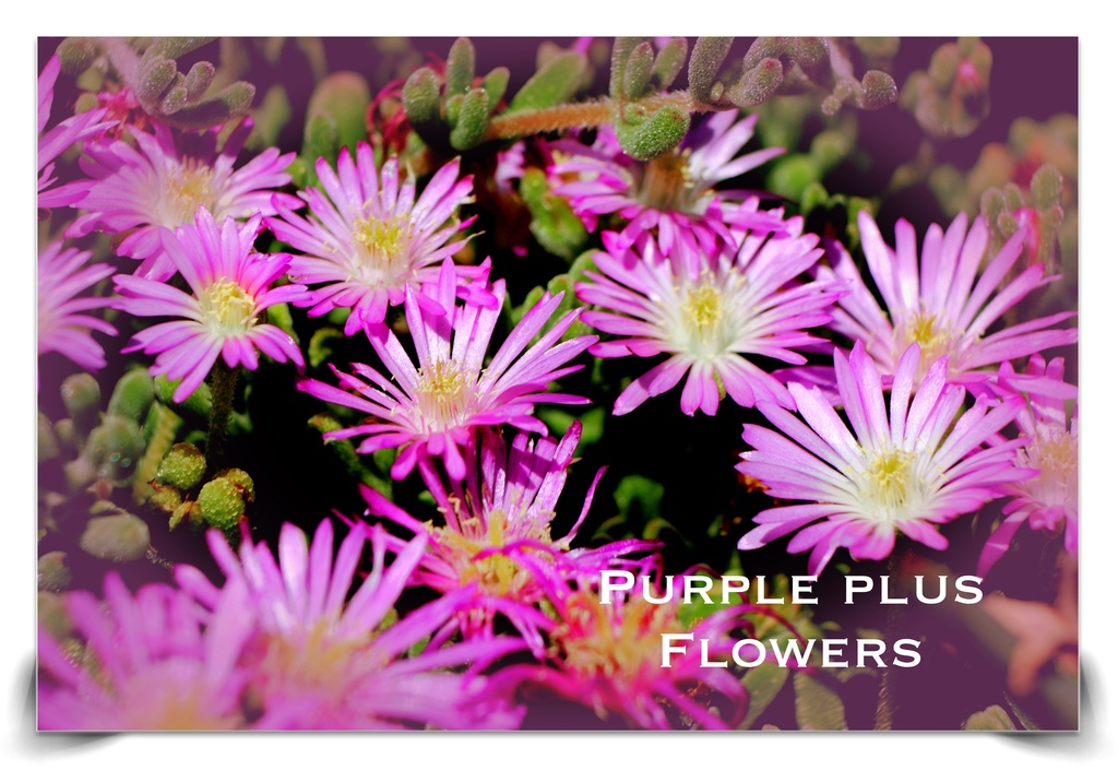 Purple Plus Flowers. Tag Challenge 100 by kathyboyles