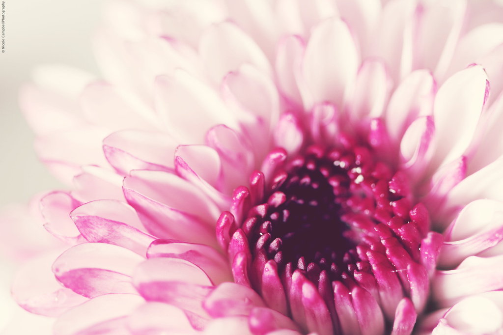 Flushed with Pink by nicolecampbell