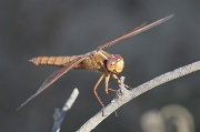 10th Oct 2010 - Red Skimmer