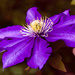 26th June 2014 - Clematis by pamknowler