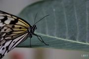 26th Jun 2014 - Paper Kite Butterfly