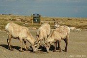 26th Jun 2014 - Big Horn Sheep