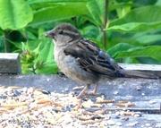 27th Jun 2014 - Young Sparrow