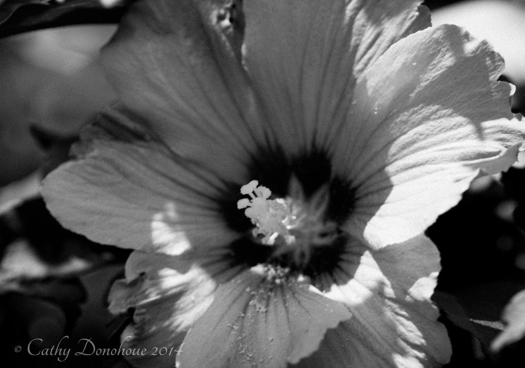 If A Flower Is B&W is it Still a Flower? by cdonohoue