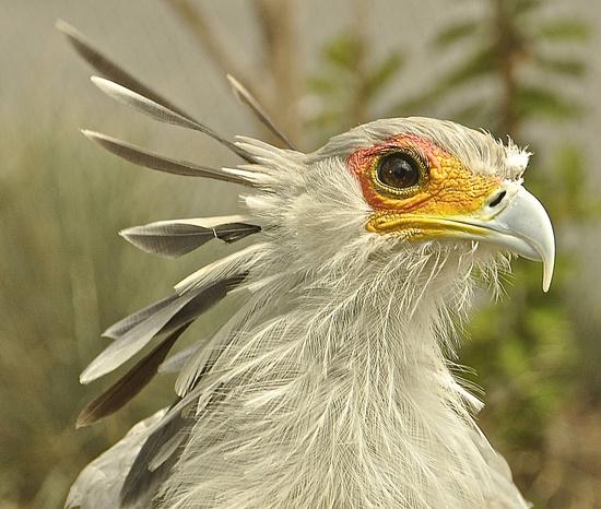 Secretary Bird by joysfocus