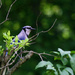 Blue Jay on the bush by mittens