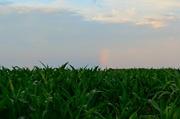 28th Jun 2014 - Corn Rows and Rainbows