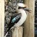 Laugh, kookaburra laugh - Tease that photographer by flyrobin