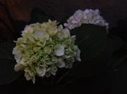 28th Jun 2014 - Bloom at Dusk