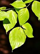 29th Jun 2014 - Light on Leaves