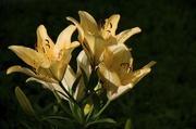 26th Jun 2014 - Lilies