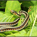 Garter snake by teiko