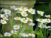 30th Jun 2014 - Feverfew-- a herbal remedy