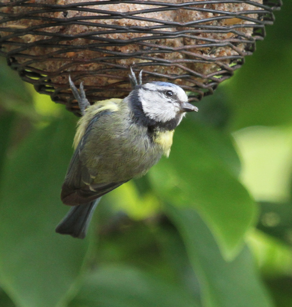 Captured on the feeder by padlock