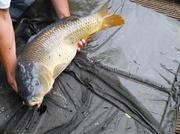 20th Jun 2013 - Big fish caught on Tooting Bec Common pond