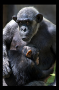 30th Jun 2014 - Chimpanzee with her baby