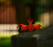30th Jun 2014 - Orange Lily at the Cemetery